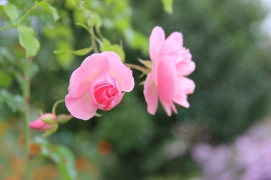 Monet's Gardens | pink